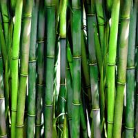 18 фактов о Бамбуке