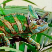16 фактов о Хамелеонах