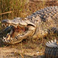 17 фактов о Крокодилах