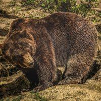 21 факт о Медведях