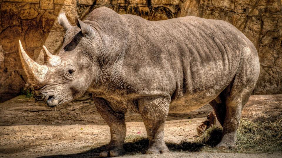 13 фактов о Носорогах