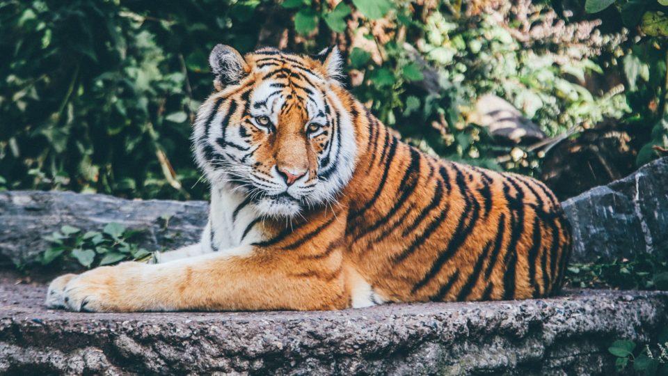 20 фактов о Тиграх
