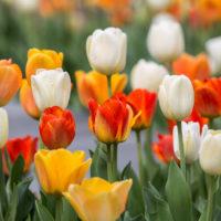 15 фактов о Тюльпанах