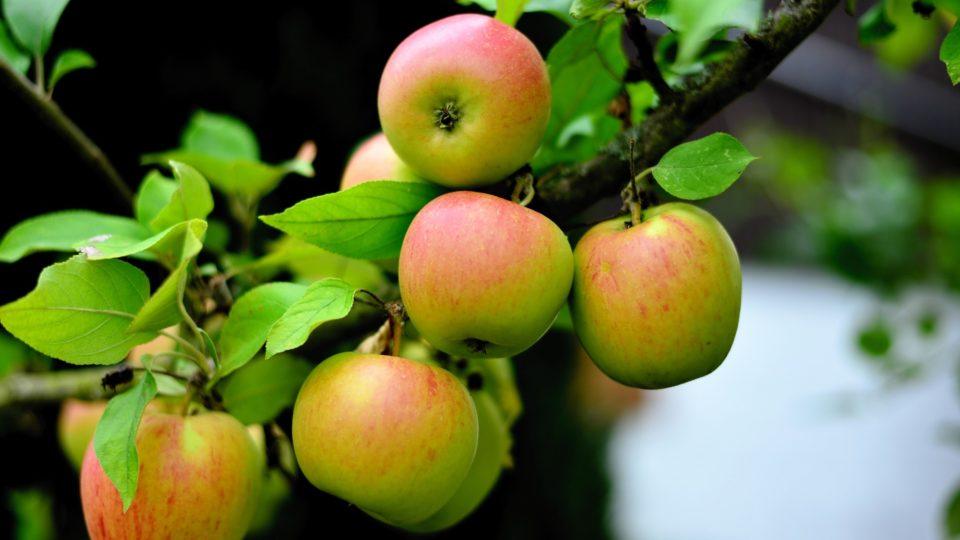 19 фактов о Яблоках