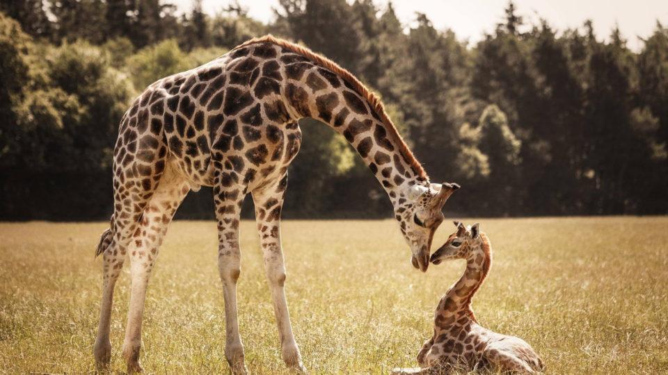 14 фактов о Жирафах